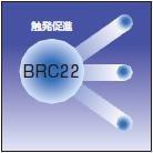 BRC22 触発促進