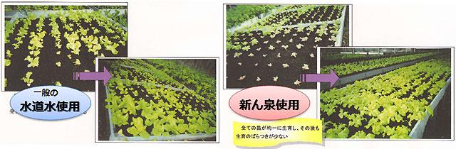 新ん泉の導入により芽が均一に生育、生産のばらつきが少なくなった